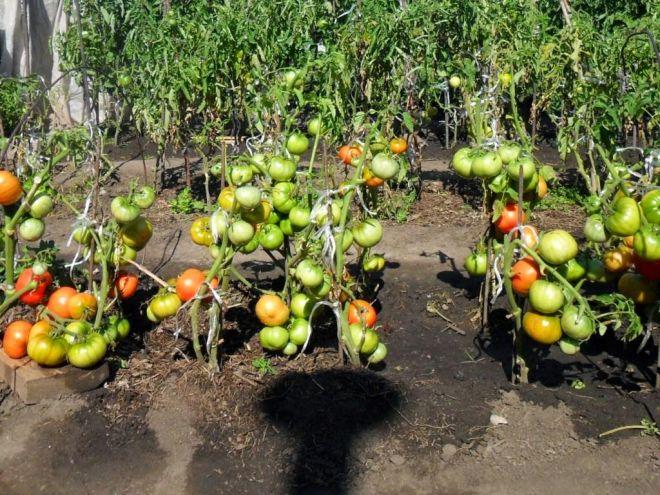 Как поливать рассаду помидоров: правильное увлажнение, рекомендованная частота полива после высадки в открытый грунт, опасность переизбытка влаги, когда и какие составы можно добавить в воду