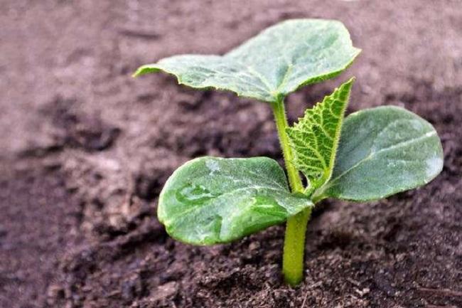 Высокоурожайные сорта огурцов для теплиц и огорода: классификация сортовых огурцов, критерии выбора, подробное описание