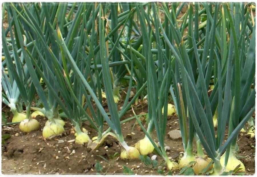 Когда сажать лук рекомендуется в мае: все ключевые весенние и осенние даты лунного цикла, подробная методика выращивания озимого и летнего лука, правильный уход за посадками зелени