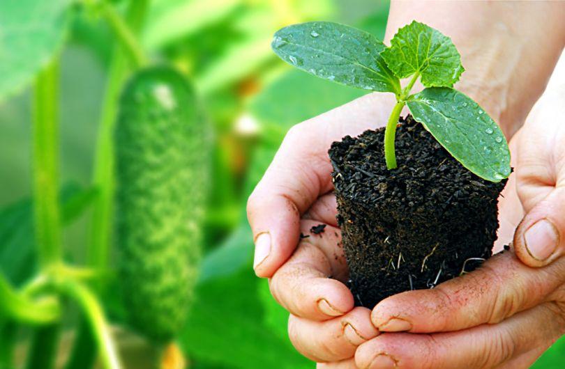 Как сажать рассаду огурцов чтобы она была здоровой и не болела