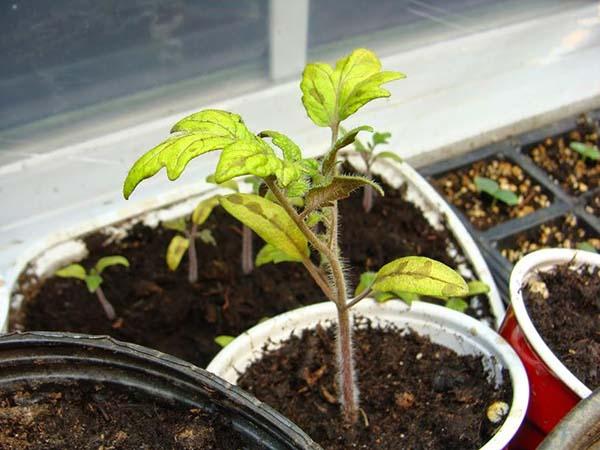 Когда сеять помидоры на рассаду в 2019 году: оптимальные сроки по лунному календарю, исходя из возраста рассады и климата региона