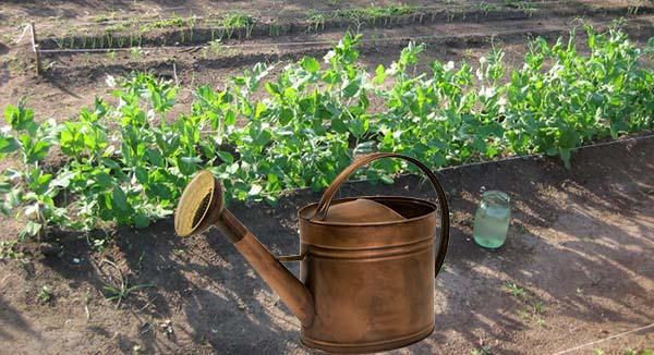 Посадка и уход за горохом в открытом грунте: сроки посева и технология выращивания