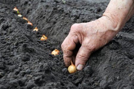Лук подготовка к посадке и уход в открытом грунте