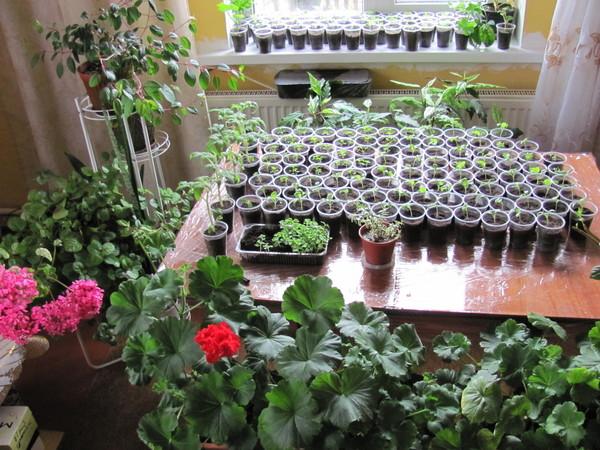 Выращиваем рассаду в квартире: как сеять, ухаживать, подкармливать, советы на апрель 2020, ключевые недостатки подоконника