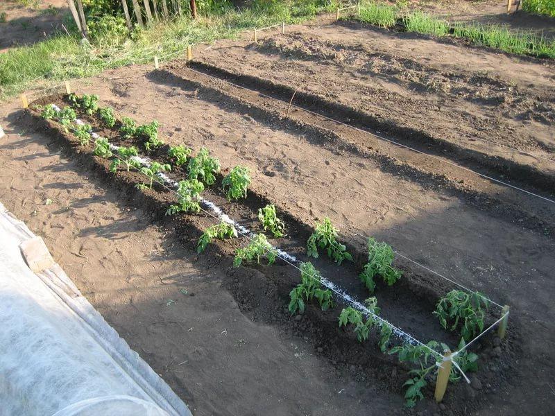 Высадка рассады томатов в грунт: оптимальные сроки высадки рассады и как уменьшить риск гибели рассады от заморозков в 2019 году
