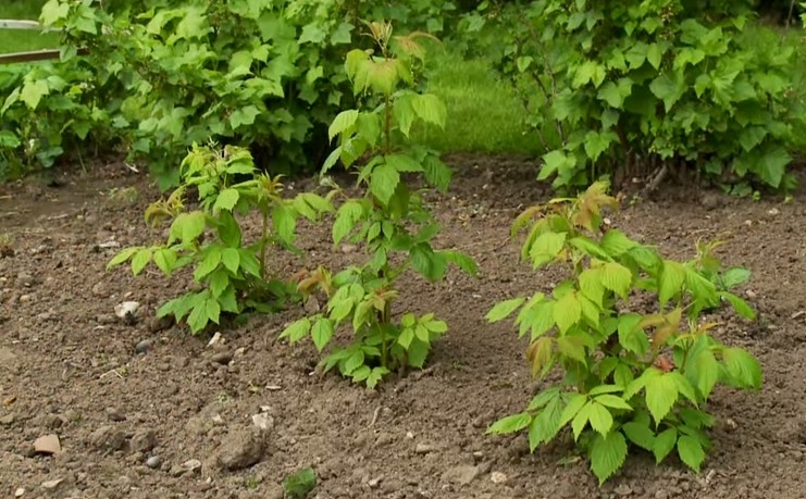 Чем подкормить малину весной: рассмотрим вместе виды подкормок и сигналы растений