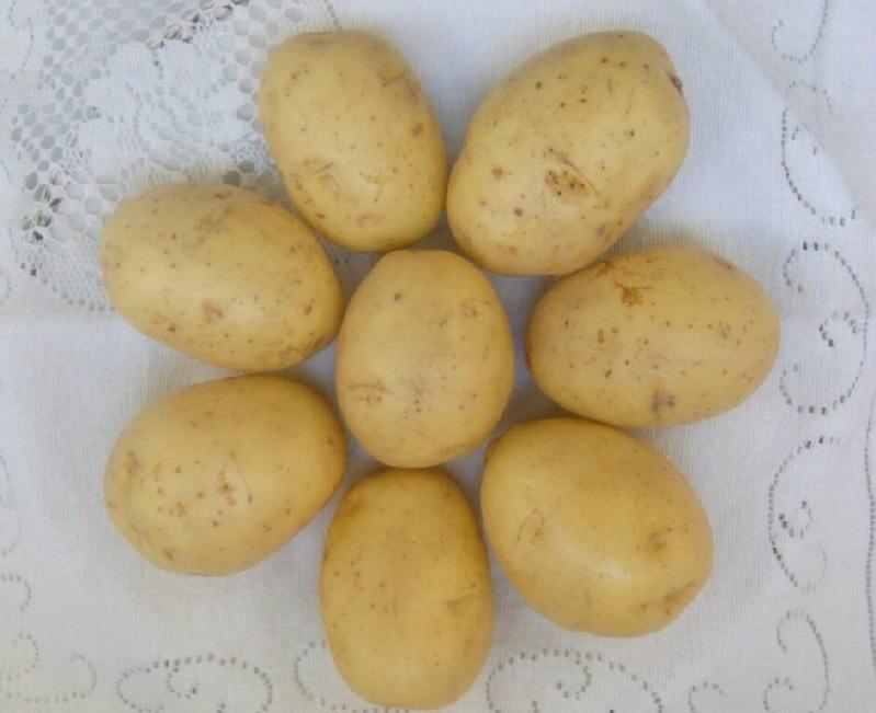 Сорт картофеля «Гала»: характеристики, плюсы и минусы сорта, выращивание, сведения о сорте