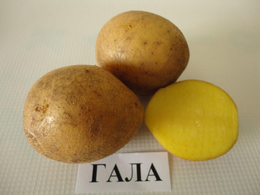 Универсальный сорт картофеля Гала: характеристики урожайности, неприхотливости, правильное хранение сорта и его лежкость, сравнительные таблицы, селекционные особенности
