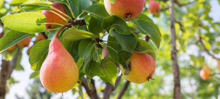 Посадка груши весной в разных регионах: пошаговое руководство для выращивания грушевого сада