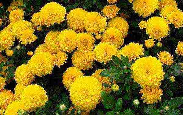 Хризантема посадка и уход в открытом грунте осенью, виды и классификация