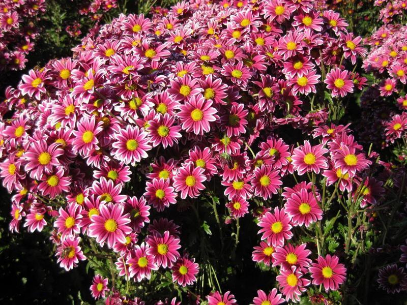 Хризантемы – посадка и уход, защита от вредителей