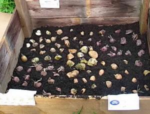 Как подготовить картофель к посадке в грунт, способы проращивания проверенные веками