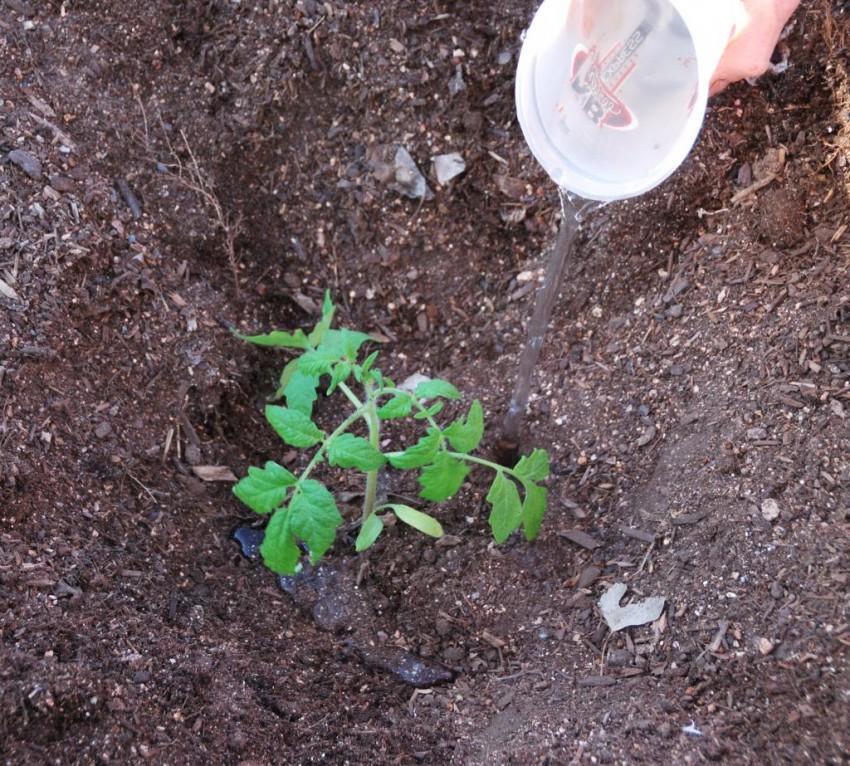 Как поливать рассаду помидоров после проведения пикировки - правильный полив, дозировка и всё что нужно знать в 2019 году