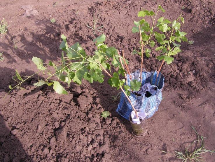 Как посадить виноград: пошаговая инструкция выбора лучшего места и высадки