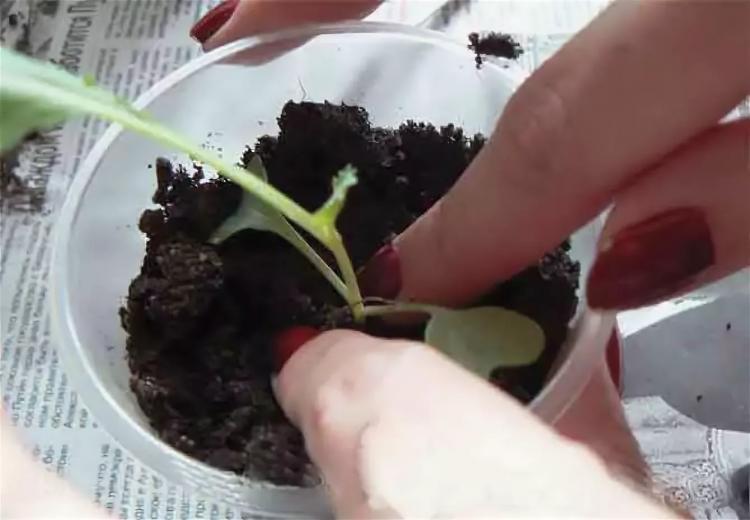 Как правильно пикировать рассаду капусты в домашних условиях и когда это не нужно делать?
