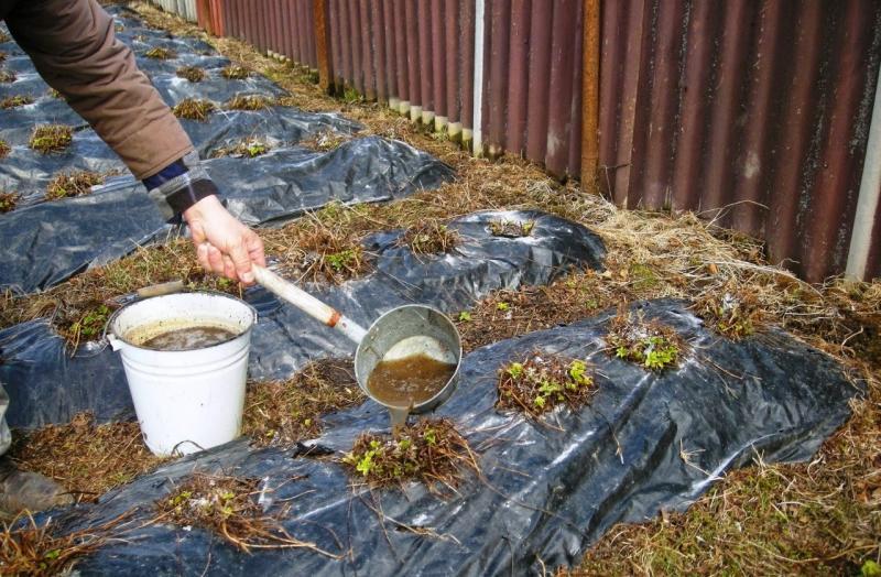 Как правильно подкармливать кусты клубники весной, чтобы урожай оказался максимально богатым