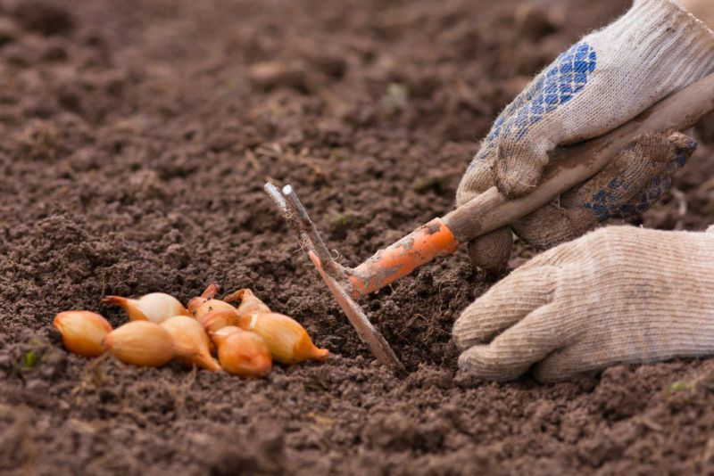 Как сажать лук вовремя и правильно в 2019 году весной: подробные рекомендации