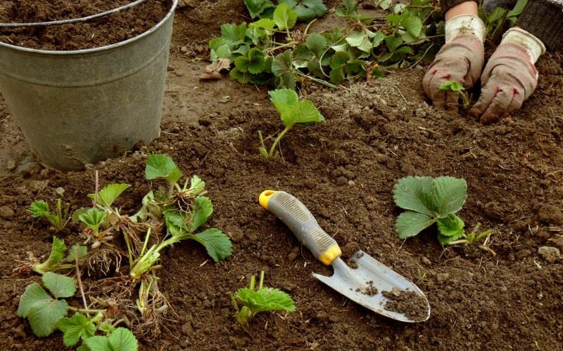 Как ухаживать за клубникой весной: послезимний уход за ягодой от а до я