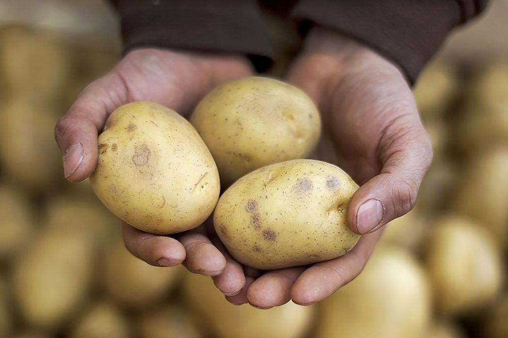 Посадка картофеля - выбираем лучшие сорта картофеля для посадки: урожайное разнообразие, основные требования, лучшие сорта по регионам