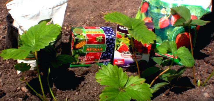 Какими средствами обработать клубнику весной и летом - описание самых полезных для клубники садовых препаратов для июня, интересные составы с двойным эффектом, народные средства для подкормки и защиты