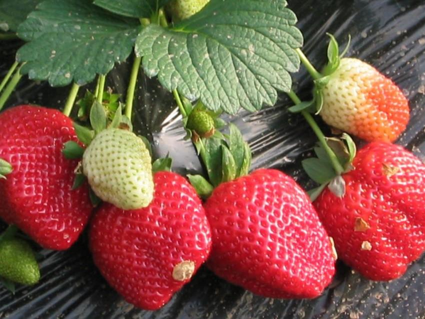 Как правильно подкармливать кусты клубники весной, повышаем урожайность земляничного ягодника