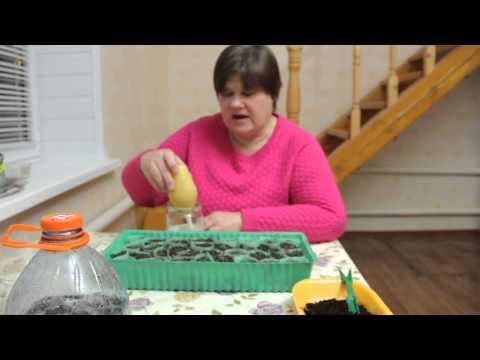 Клубника в домашних условиях: как обустроить грядку у себя дома, уход за рассадой, сорта