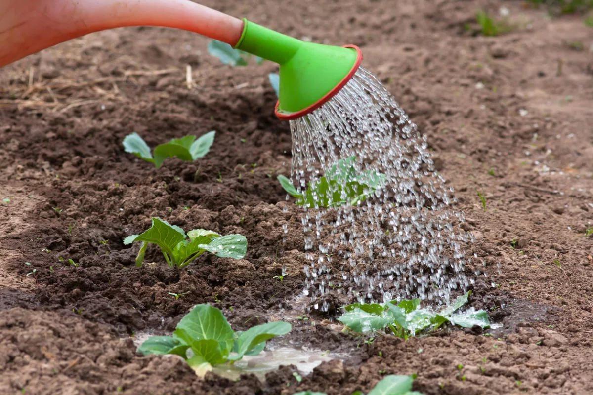 Когда сажать капусту на рассаду и пикировать - полезные советы, удачные лунные дни апреля