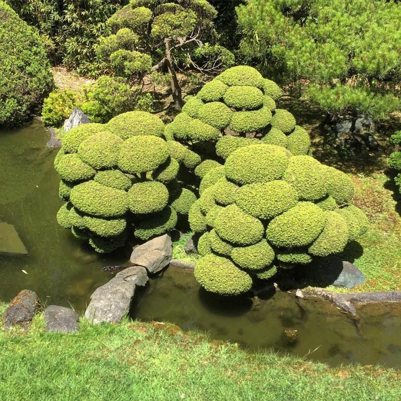 Можжевельник – посадка и уход, вредители можжевелового сада