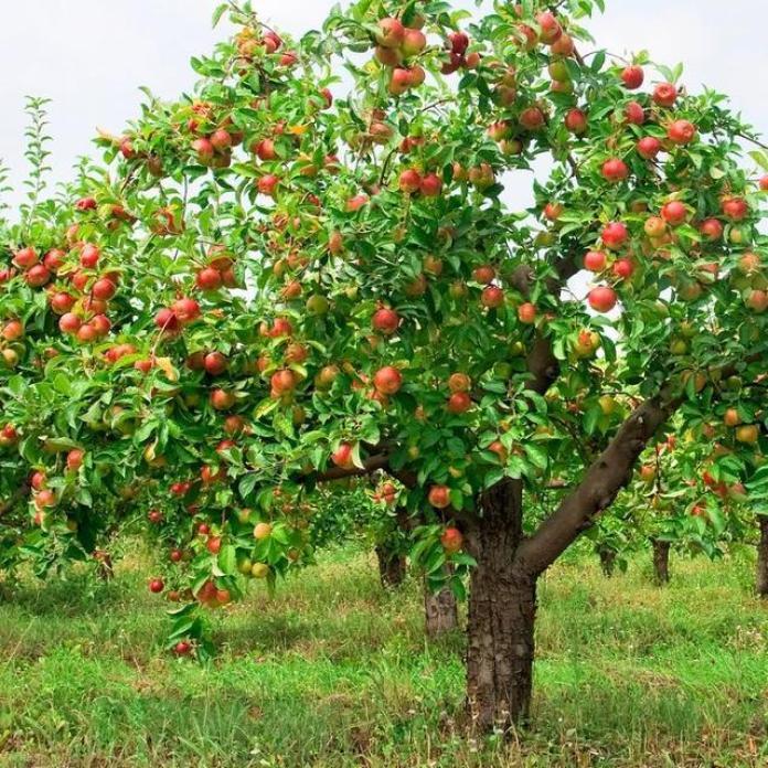 Обрезка яблонь весной для новичков: правила и советы для деревьев любого возраста