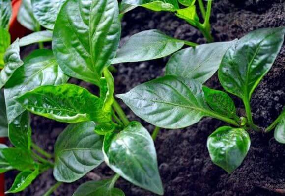 Подкормка рассады томатов и перца народными средствам, подсказки по выращиваю самых урожайных и здоровых саженцев