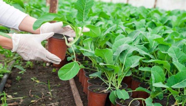 Как правильно пикировать рассаду капусты в домашних условиях, положительные моменты процедуры, случаи когда можно обойтись без пикировки