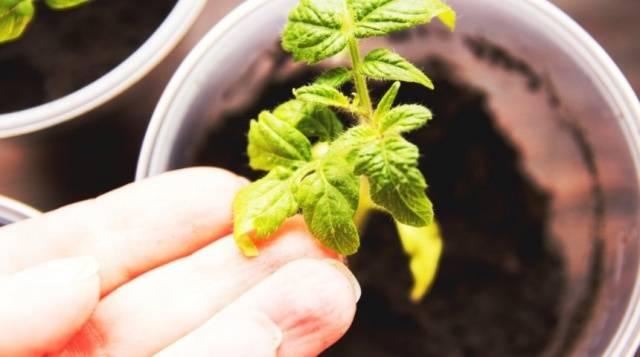 Почему желтеют листья у рассады помидор: распространённые ошибки и эффективная помощь