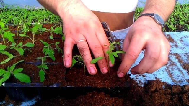 Подкормка рассады томатов и перца народными средствами: универсальные и нежелательные подкормки