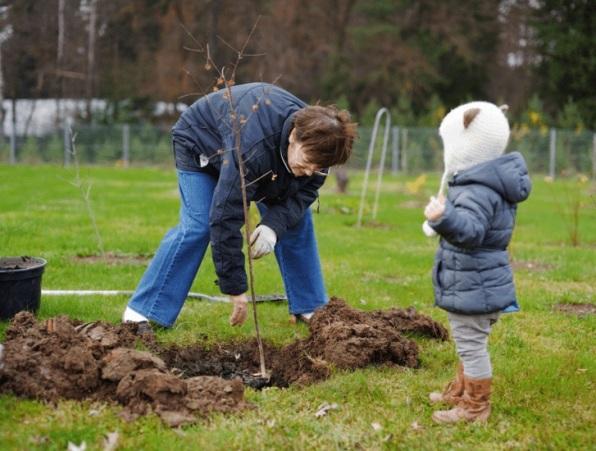 Посадка вишни - маленькие садовые секреты
