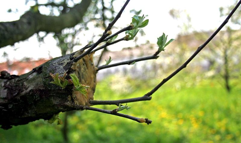 Правила и способы прививки яблонь весной, летом, осенью: пошаговые инструкции каждой методики