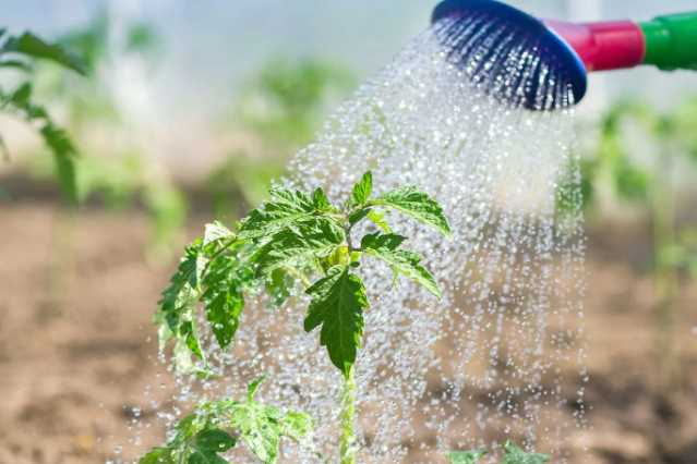 Как правильно поливать помидоры, важные правила, поливать или нет