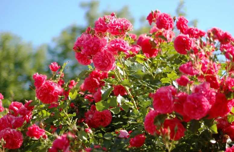 Как посадить розу? Выбираем правильное место и методику, подробный обзор всех тонкостей