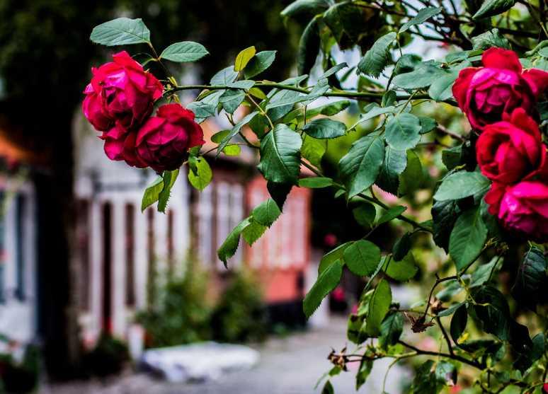 Все о посадке розы - подробная шпаргалка: удачное время, выбор места и сорта, советы дизайнера, техника