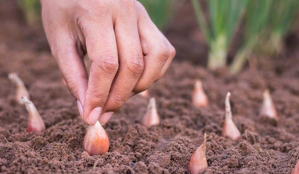 Посадка лука весной: правильно сажаем лук в мае 2019 года, подробно про подготовку севка на репку и крупную головку, посадка чернушки для выращивания головки за сезон