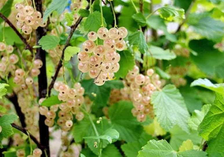 Чем подкормить смородину весной, летом и осенью: зачем нужна подкормка, рецепты сезонных удобрений, что растению наиболее полезно в жару и холод