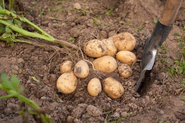 Сорт картофеля «Гала»: характеристики, плюсы и минусы сорта, выращивание