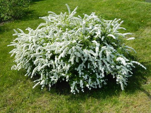 Спирея – пушистые облачка в саду. Посадка, уход, описание, фото прелестных декоративных кустарников