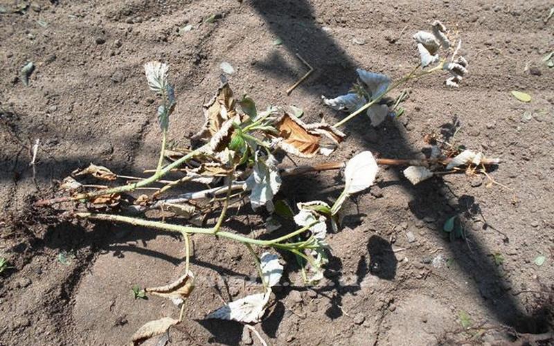 Уход за малиной весной - разбираемся в вопросе, подробные советы