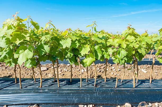Как посадить виноград: интересные факты о растении, пошаговая подготовка саженцев, создание оптимального грунта