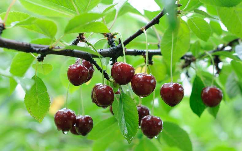 Посадка вишни - маленькие садовые секреты и сорта для каждого региона
