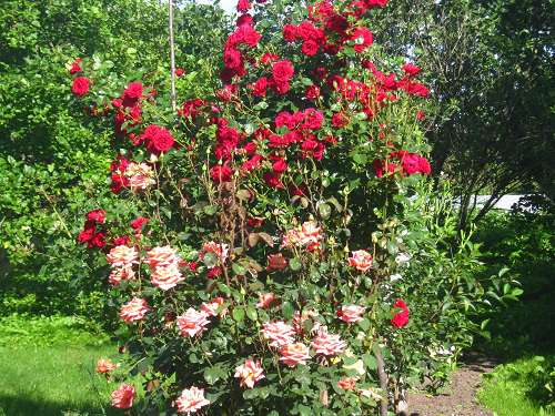 Все о посадке розы - выбор места и сорта, советы дизайнера, техника