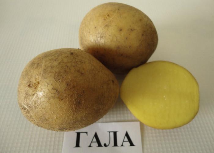 Выбираем лучшие сорта картофеля для посадки: урожайное разнообразие