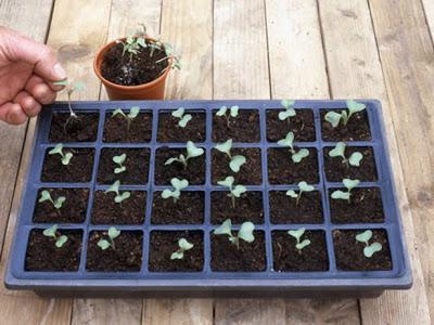 Выращивание ранней капусты. Ранняя капуста: посадка и уход, важные правила