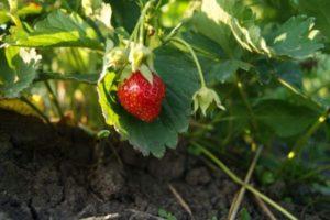 Как часто поливать клубнику, чтобы получить обильный урожай, подробно о важном, сочетание подкормок с поливом