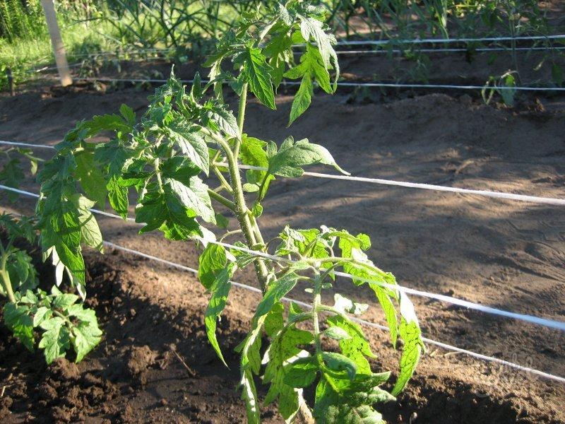 Как подвязывать помидоры? Правила, способы, ошибки садоводов
